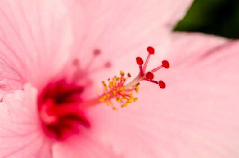 Macro Hibiscus