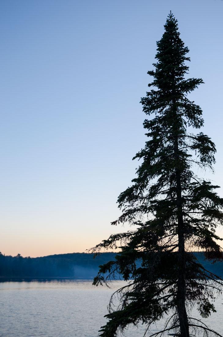 Tall Evergreen