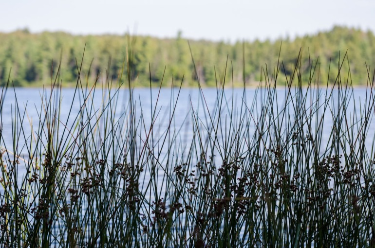 Tall Grasses by a Lake