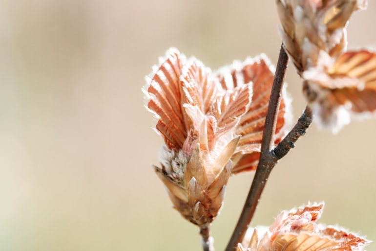 Budding Tree Closeup