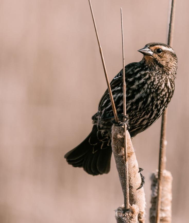 Female Red-Winged Blackbird in a Marsh